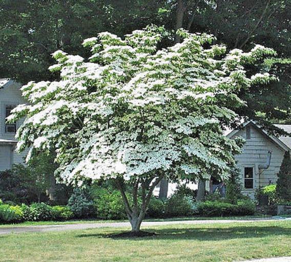 Dogwood Tree Kousa: Page Title